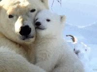Watch and share Polar Bear GIFs on Gfycat
