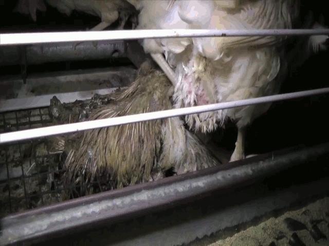 Död höna i bur och två döda hönor på golv