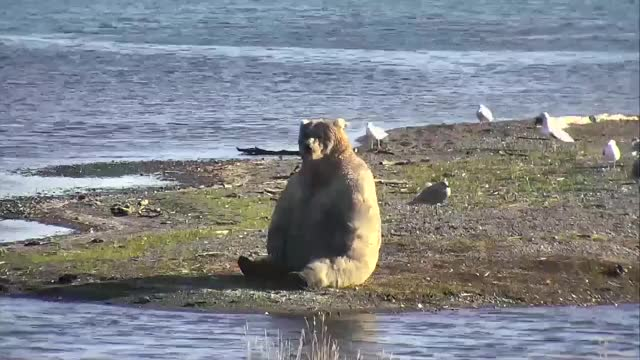 Watch and share Alaska Bear Attack GIFs and Katmai Live Stream GIFs on Gfycat