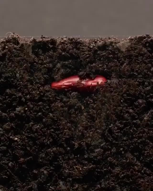 Watch and share Growing Kidney Bean, 25 Day Timelapse 🌱 By GPhase  GIFs by Jackson3OH3 on Gfycat