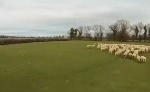 Watch and share Sheep Herding GIFs and Gif Brewery GIFs by Popular Science on Gfycat