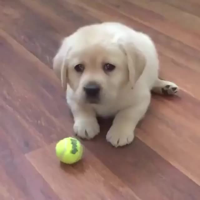 Watch ball GIF on Gfycat. Discover more dog GIFs on Gfycat