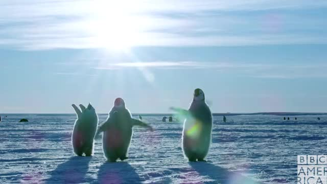 Dynasties Penguin Chicks Flapping Wings