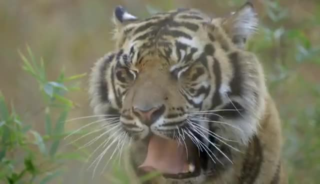 animal, animals, cat, tiger, tigers, tigress, Tiger Teeth GIFs