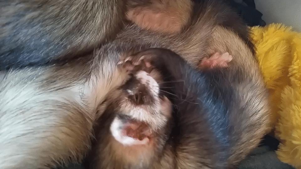 ferrets, Ferrets in the drawer GIFs
