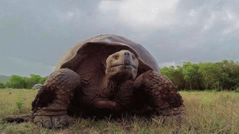 animals, tortoise, turtle, turtle GIFs
