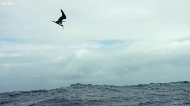 Watch and share Flying Fish GIFs and Frigatebird GIFs by joliot on Gfycat