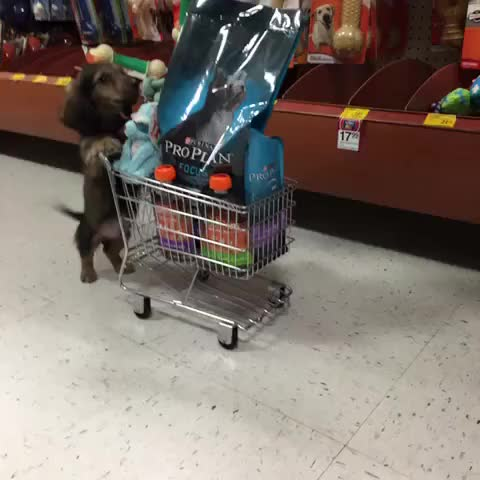 Watch and share This Grocery Cart Is Getting Heavy, Your Turn To Push Mom! (Follow Us On Instagram: @knoxthedox) #KnoxTheDoxie #PuppyShopping #CantGetCuter GIFs by itsfoine on Gfycat