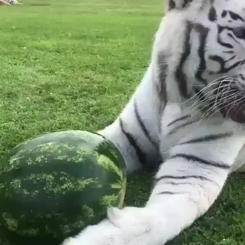 Watch and share Watermelon GIFs and Tiger GIFs by FarSizzle on Gfycat