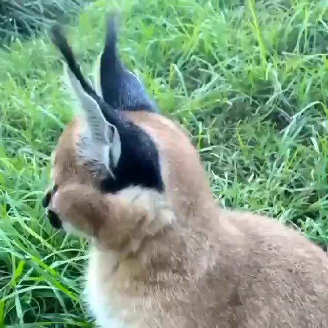 Watch and share Ear Flick GIFs and Caracal GIFs on Gfycat