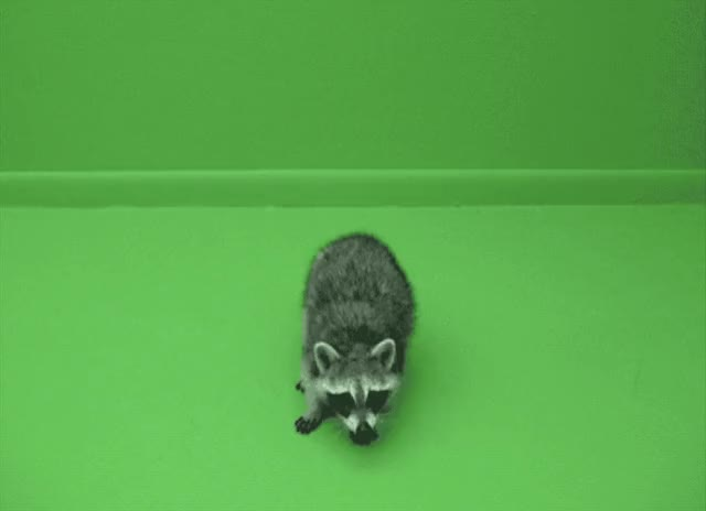 Watch Raccoon Attack GIF by elvisripley on Gfycat. Discover more attack, coon, raccoon GIFs on Gfycat