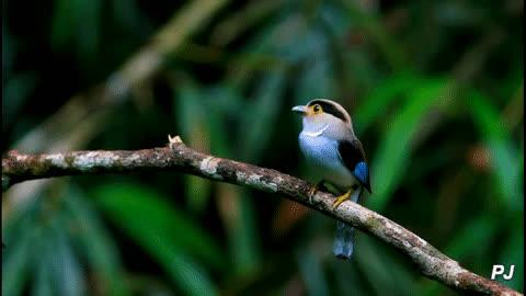 animalgifs, naturegifs, whatsthisbird, silver-breasted broadbill (serilophus lunatus) GIFs