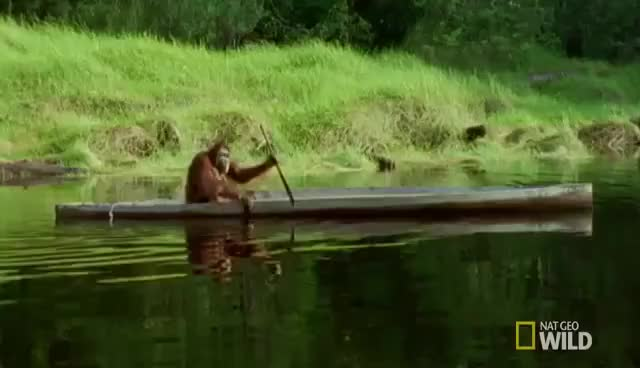 Watch and share Orangutan GIFs and Paddling GIFs on Gfycat