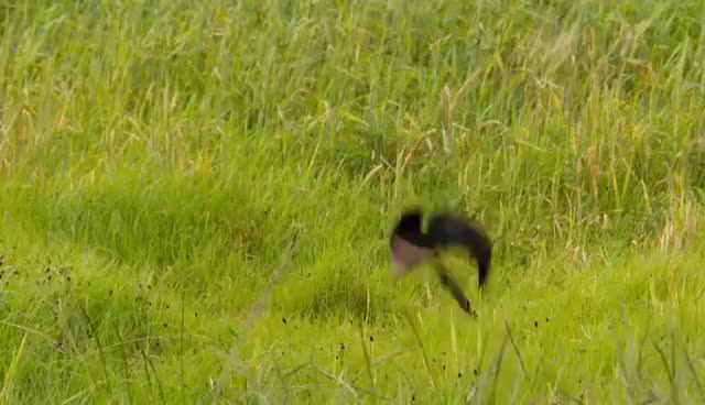 Watch and share Widowbird Jumping Competition - Planet Earth II GIFs on Gfycat