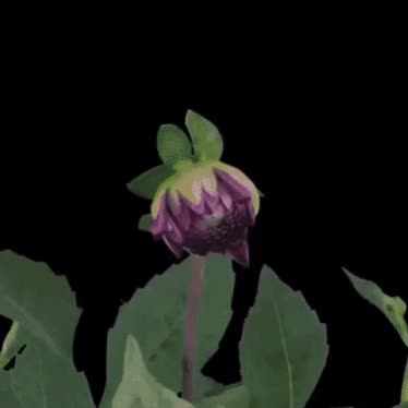 Watch and share Dahlia Blooming GIFs on Gfycat