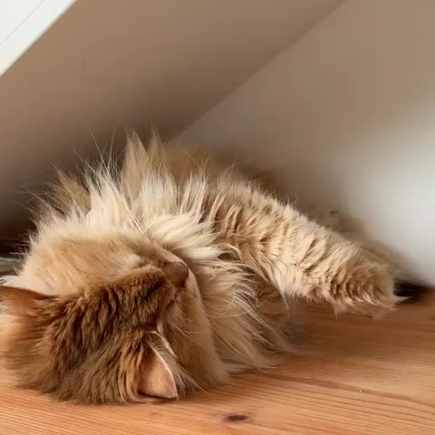 aww, cat, cats, cute, Stretching out the paw tufts GIFs