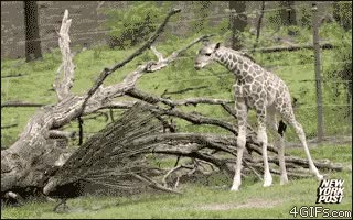 Watch and share Animals GIFs and Giraffe GIFs by GlobalSweet on Gfycat