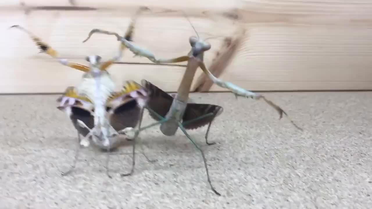 Praying Mantis Dance GIFs