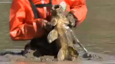 Carp removal in Canberra GIFs