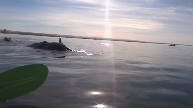 Watch Whale Lifts Kayakers Out Of Water GIF on Gfycat. Discover more Argentina (Country), Breaking, Kayaking (Sport), News, Puerto Madryn (City/Town/Village), Storyful (Business Operation), UGC, Viral, Whale (Animal), nature, shark GIFs on Gfycat
