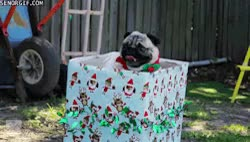Watch and share Pug Dogs Pugs Cute Gif Dog Gif Pug Gif Puglife GIFs on Gfycat