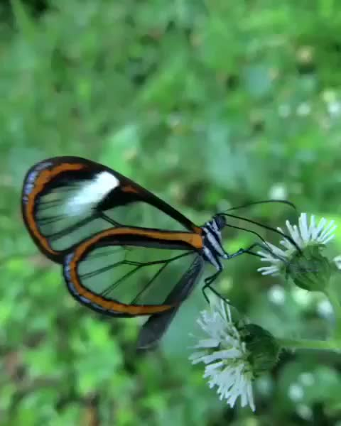 Watch and share Glasswing Butterfly GIFs by tothetenthpower on Gfycat