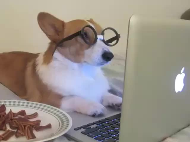 Watch this bacon GIF on Gfycat. Discover more bacon, corgi, dog, food GIFs on Gfycat