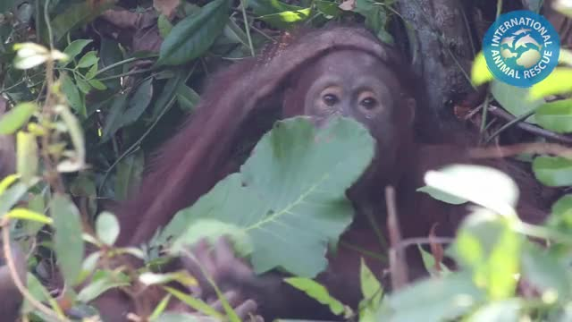 Watch Rescued orangutan Monti has some tips on how to keep cool this summer :) We ... GIF on Gfycat. Discover more related GIFs on Gfycat
