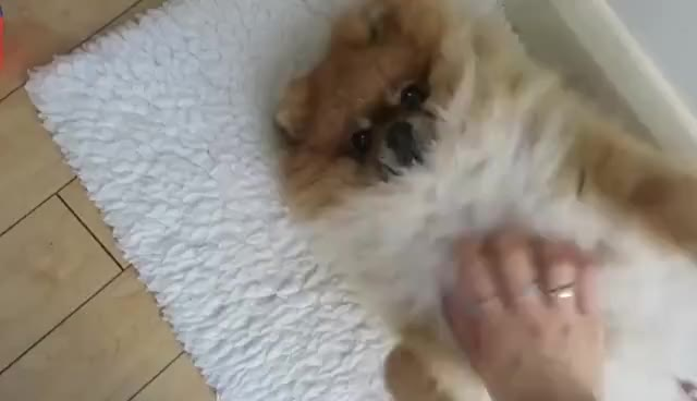 Watch and share Fluffy GIFs and Dog GIFs on Gfycat