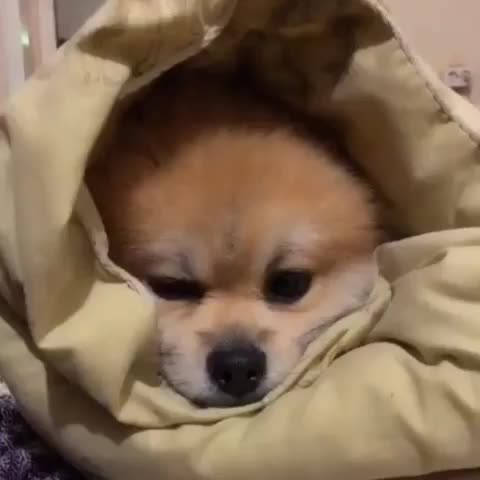Watch and share Шпицымосквы GIFs and Pomeranian GIFs by Олеся on Gfycat