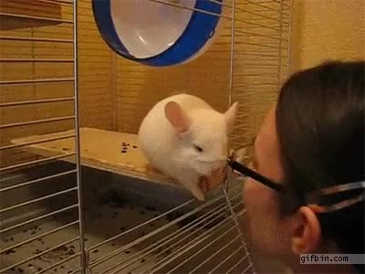 Watch and share 1381344154 Embarrassed Chinchilla GIFs by Nothing on Gfycat