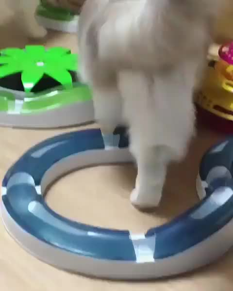 Watch Around and around he goes! GIF by Koleandra (@koleandra) on Gfycat. Discover more cat, cats GIFs on Gfycat