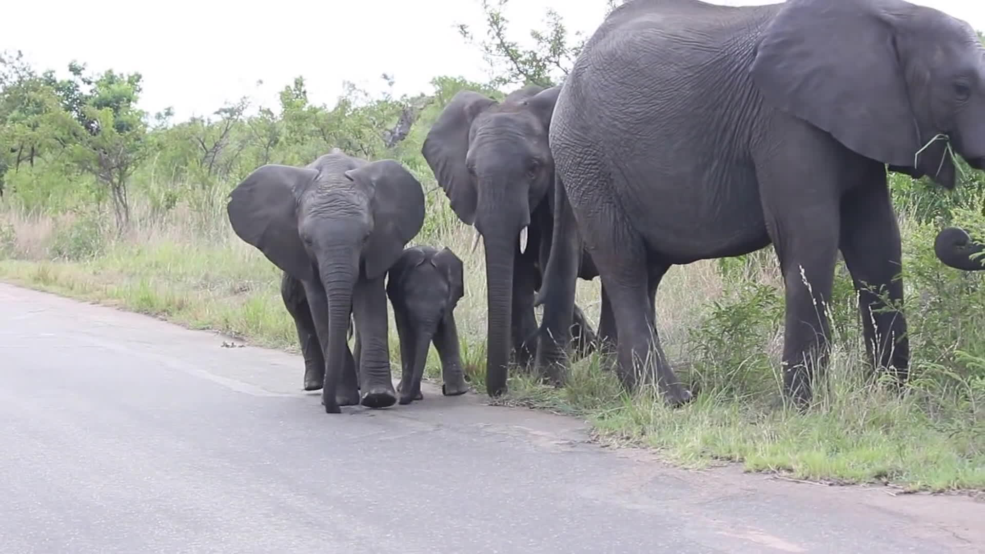 awwducational, funny, safari, Baby Elephant struggling with this long thing on his face... Cuteness overload!! GIFs