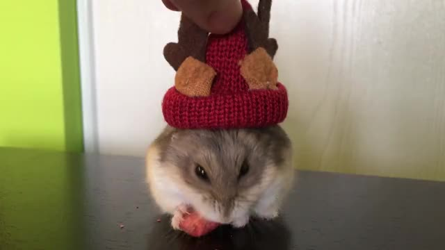 Watch Adorable! GIF by @nicehost on Gfycat. Discover more adorable, animals, april, christmas, cute, dwarf, hamster, little, new year, tiny GIFs on Gfycat