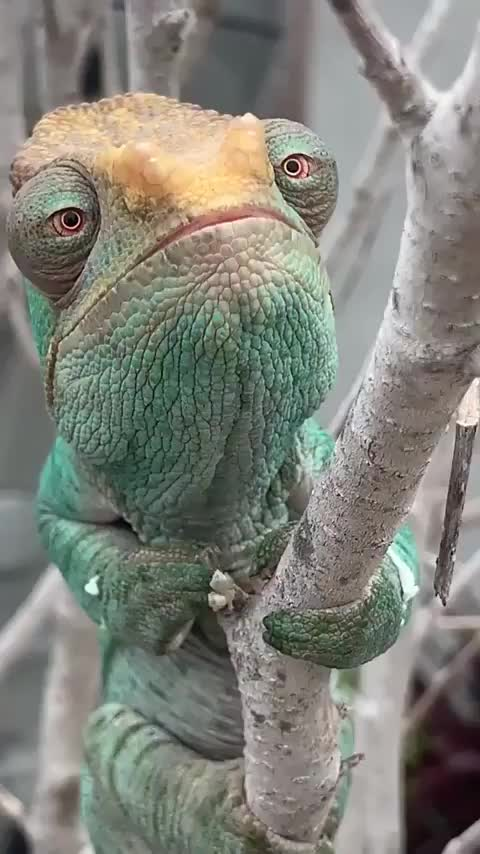 Watch and share Lizard GIFs by Boojibs on Gfycat
