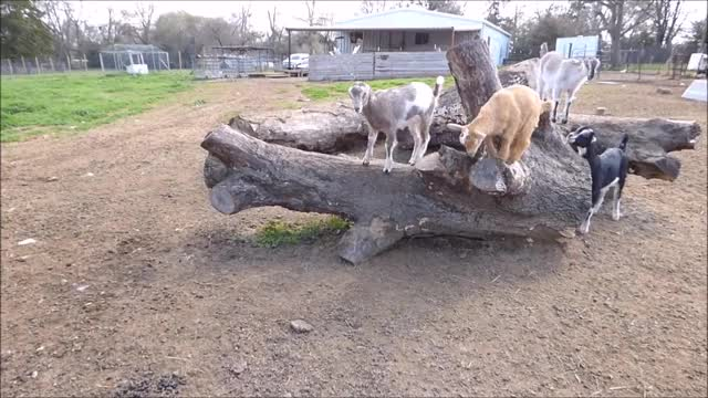Watch Long Jump GIF by KNS Farm (@knsfarm) on Gfycat. Discover more aww, cute, eyebleach, goatparkour, knsfarm GIFs on Gfycat