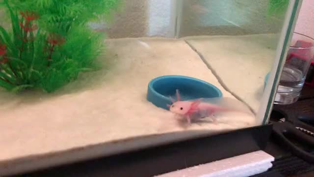 Watch and share Axolotl GIFs and Becky GIFs by businessfish on Gfycat