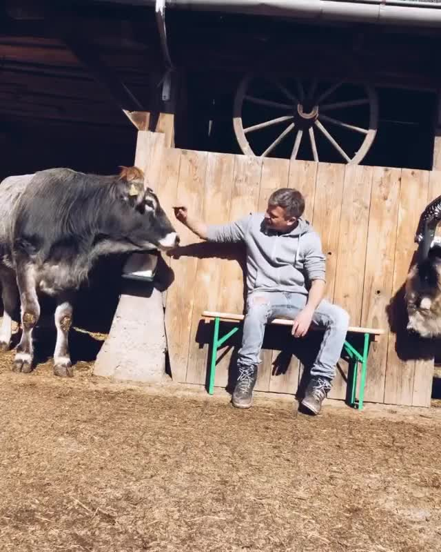 Watch and share Animal Sanctuary GIFs and Rescue Cows GIFs by lnfinity on Gfycat