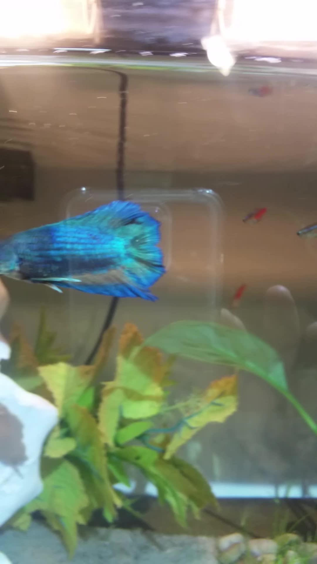 bettafish, My new betta GIFs