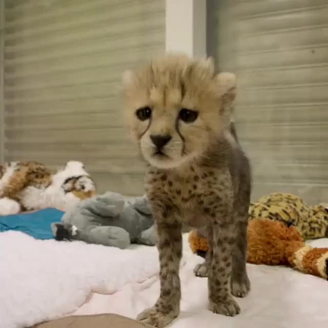 Watch Video by sdzsafaripark GIF by awkwardtheturtle on Gfycat. Discover more awkwardtheturtle GIFs on Gfycat
