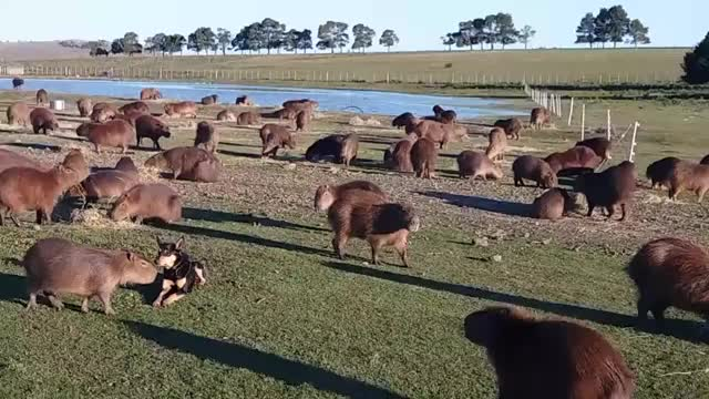 Watch and share Capybaras GIFs and Capybara GIFs by Crazy Cody's Creatures  on Gfycat
