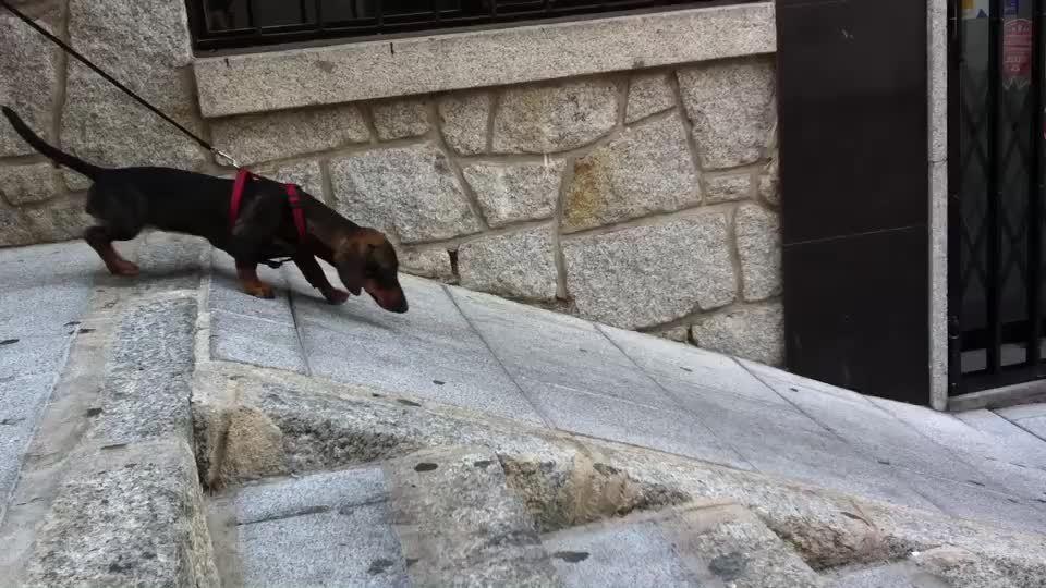 aww, awwgifs, My lazy dachshund GIFs