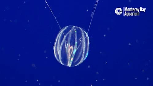 Watch and share Just A Reminder That Comb Jellyfishes Exist. GIFs on Gfycat