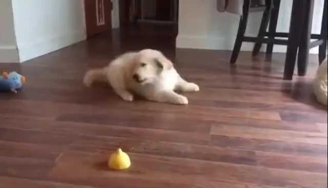 Watch and share Golden Retriever Puppy Severely Confused By Lemon Slice GIFs on Gfycat