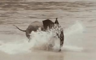 animals, elephant, zoo, Baby elephant running water GIFs