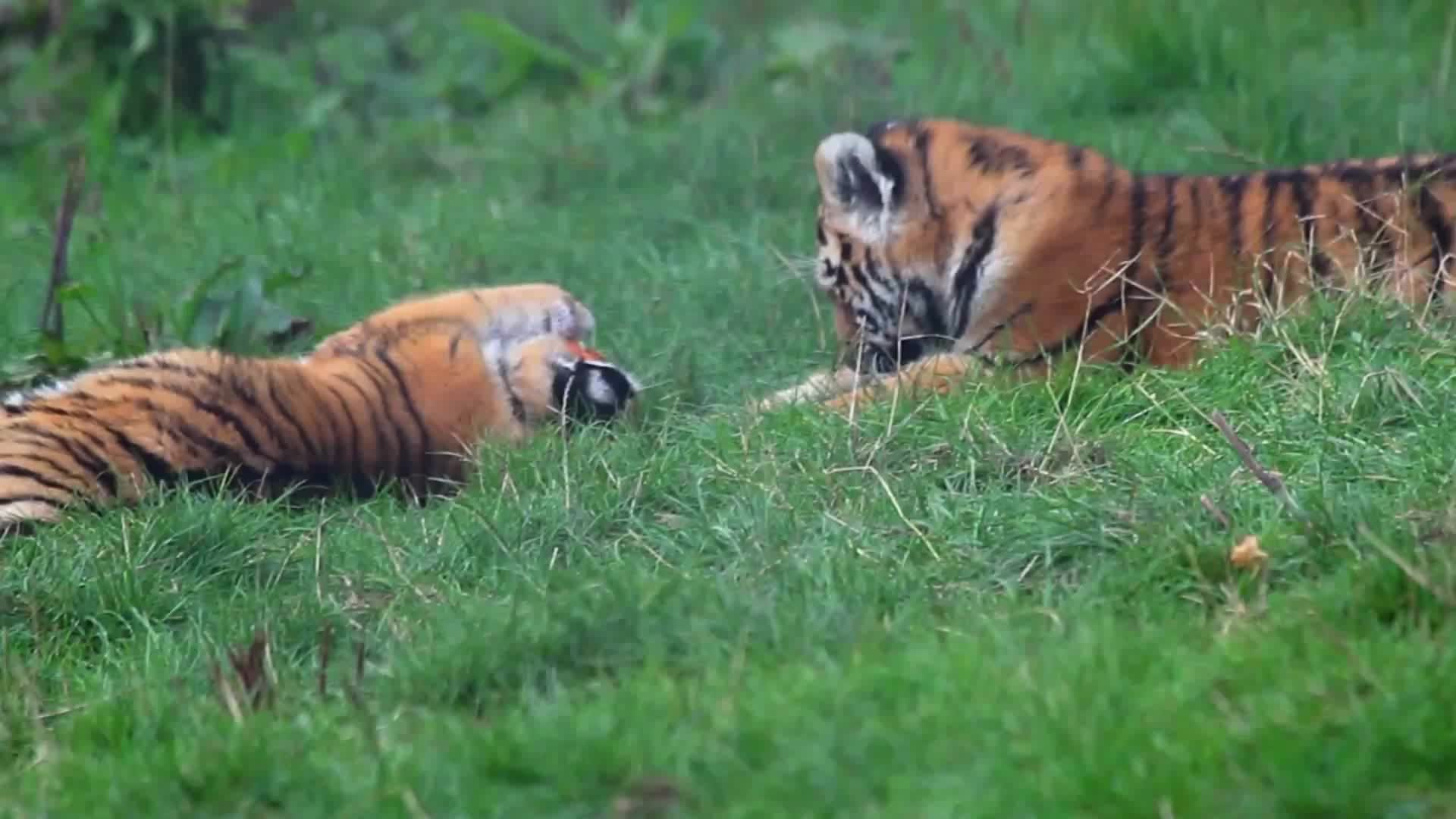 MrSmowy, Pets & Animals, Tiger cubs with a pumpkin GIFs