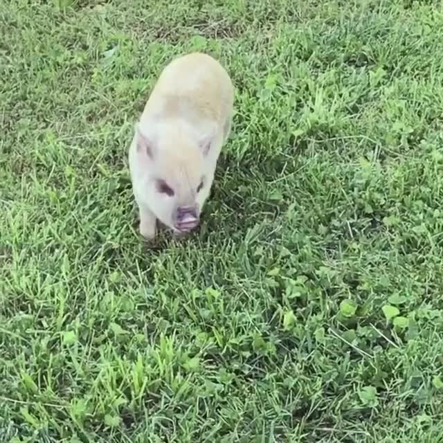 Watch this pig GIF by @b12ftw on Gfycat. Discover more friendsnotfood, livekindly, pig, puppies, rescue, sanctuary, someonenotsomething GIFs on Gfycat