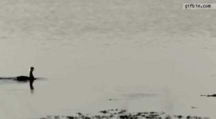 Watch and share Duck Runs On Water GIFs on Gfycat