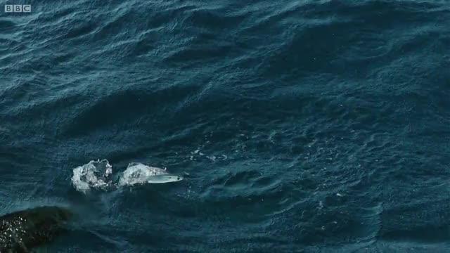 Watch and share Mahi-mahi And Frigatebirds Attacking Flying Fish GIFs by Pardusco on Gfycat