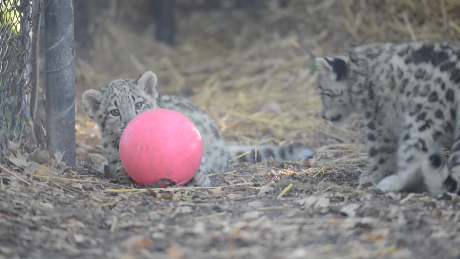 Snow Leopard Kittens and a Pink Ball GIFs